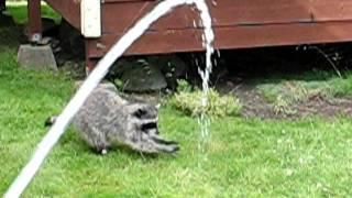 Raccoon Chases Water Hose