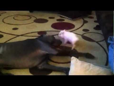 Cute - Fight Between Mini Pig And Great Dane