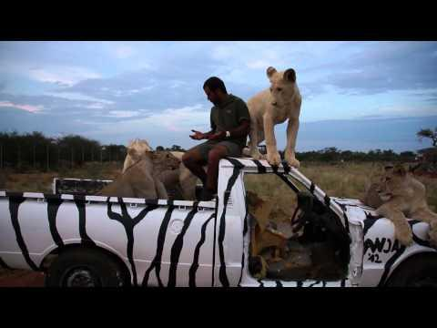 Crazy - Guy Hangs Out With Lions