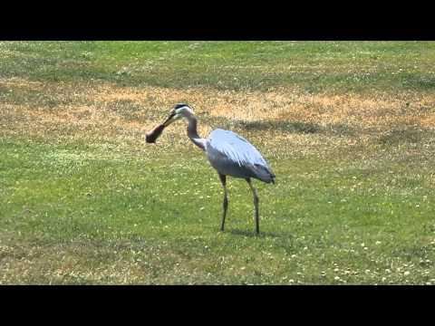 Why The Blue Heron Was Hanging Around