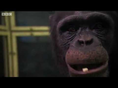 Amazing - Smartest Chimpanzee In The World