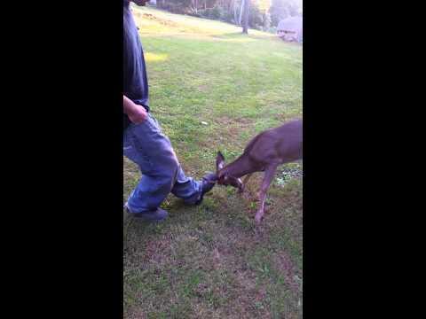 Baby Deer Vs The Man's Leg