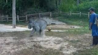Baby Elephant Loves To Play Soccer