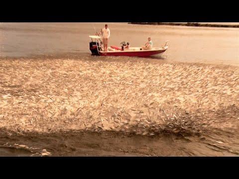 Florida's Huge Mullet Migration