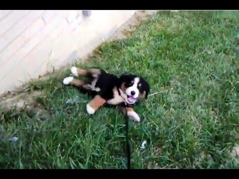Puppies Love To Roll Down The Hill
