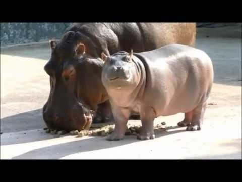 Cute - Baby Hippo's First Meal
