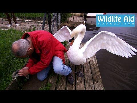 Rescue Of A Cute Swan Duckling That Was Stuck In A Fence