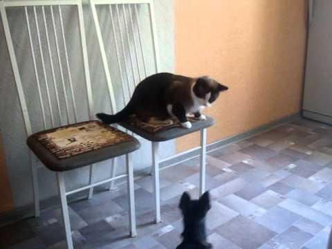 Jokes - Cat Shows Chihuahua Who The Boss Is