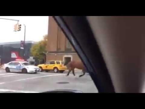 New York Police Chase A Horse