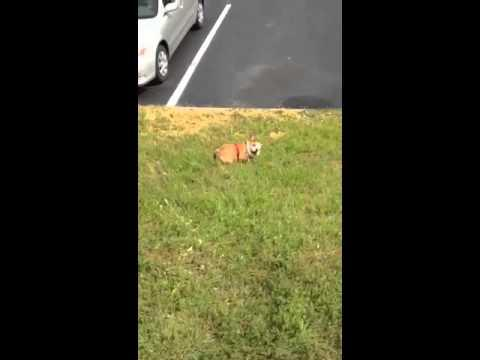 Bulldog Puppy Loves To Roll Downhill