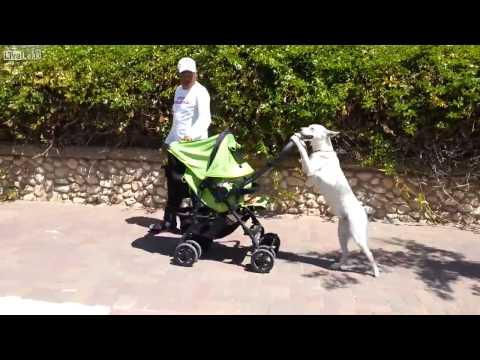 Dog Takes Baby For A Walk