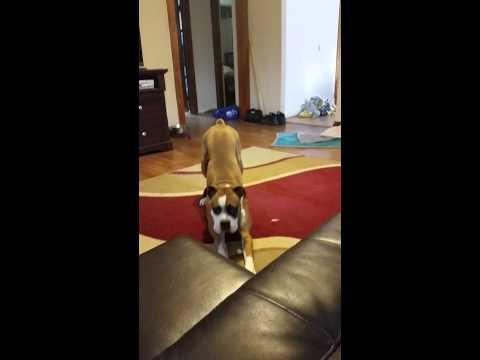Boxer Dog Doesn't Understand Why He Has To Stay Off The Couch