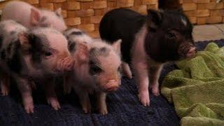Cute And Curious Piglets