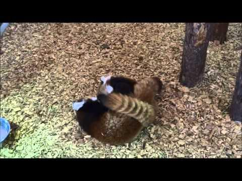 JOkes - Red Panda Cubs Get Into Fight