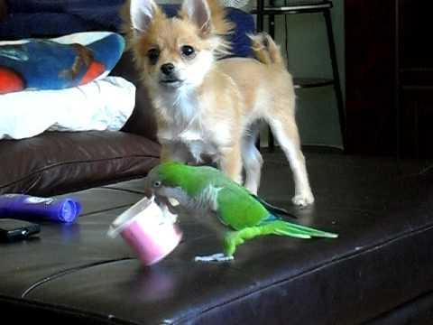 Cute - Parrot And Dog Fight Over Yogurt Cup