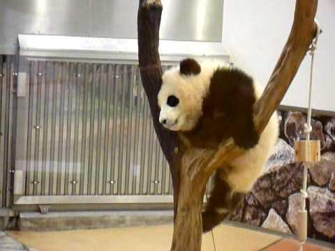 Cute - Baby Panda Is Not A Quitter