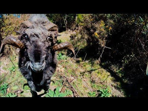 Don't Piss Off A Ram Using A Drone