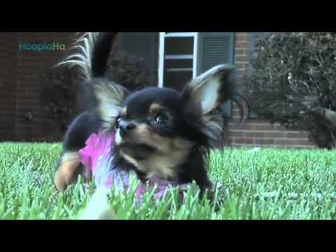 Cute - Chihuahua Makes Everyone Happy