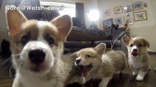 Corgi Puppies Chasing The Camera