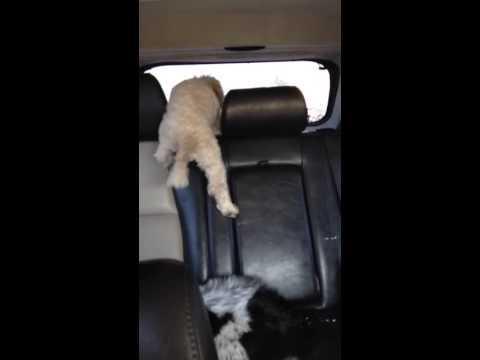 Curious Dog Inside The Car Fail