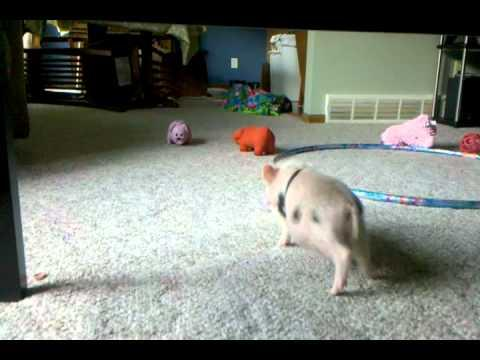 Cute - Mini Pig Plays With Toys