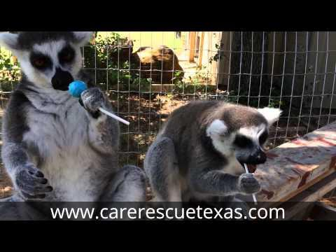 Lemurs Enjoy Eating Lollipops