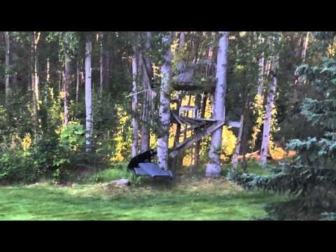 Black Bear Cub Vs The Plastic Garbage