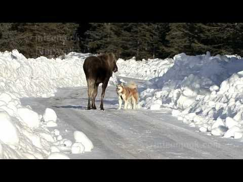 Smart Malamute Dog Gets The Moose Away From The Owner
