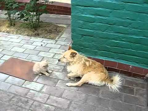 Cute - Kitten Picks A Fight With Dog