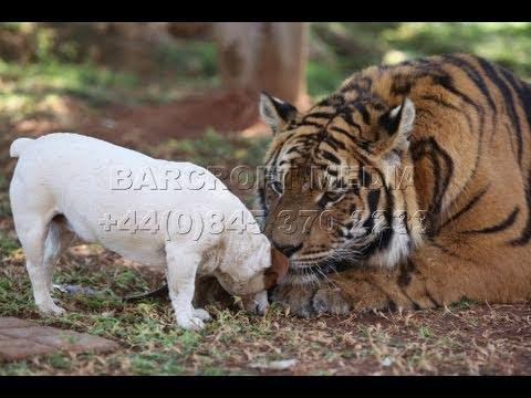 Cute - Dog's Best Friend Is A Tiger