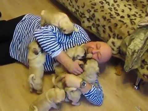 Pug Puppies Attack The Man