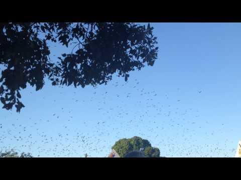 Bats Invade Australia