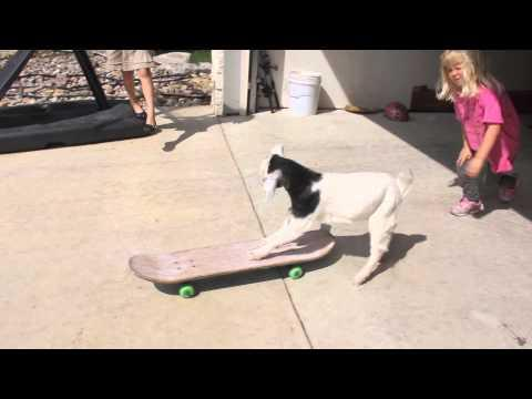 Goat Wants To Be A Skateboarder
