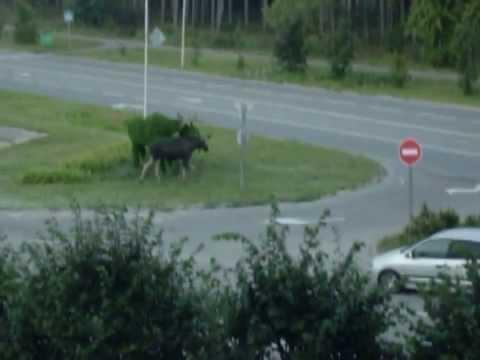 Moose Vs Plant Shaped Like Moose