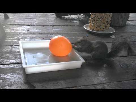 Orange Water Balloon Scares Away The Squirrel