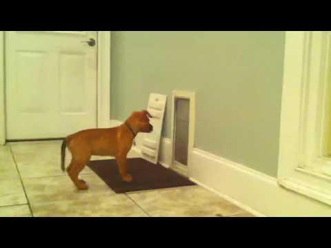 Cute - Puppy Helps Buddy Enter The House