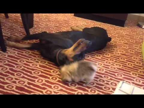 Cute - Pomeranian Puppy Play Fights With Doberman