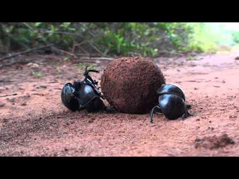 Jokes - Truth About The Dung Beetles
