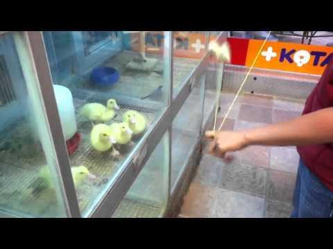 Cute - Ducklings Get Entertained By A Yo-Yo