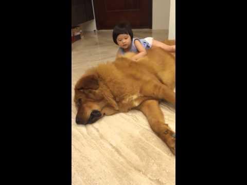 Tibetan Mastiff Dog Lets The Little Girl Play On Top