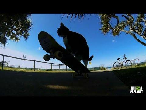Cat Shows Off Skateboarding Skills