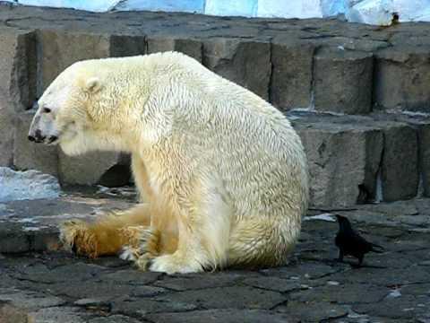 Jokes - Crow Vs The Polar Bear
