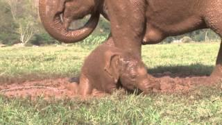 Baby Elephant Plays In The Mud