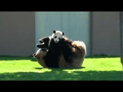 Cute - Panda Play Fighting With Cub