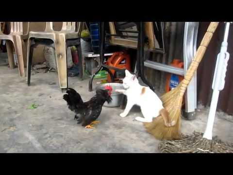 Jokes - Rooster Fights With Cat