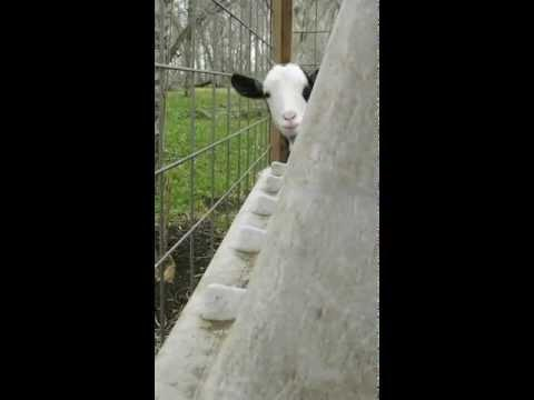 Cute - Goat Plays Peek-A-Boo Game