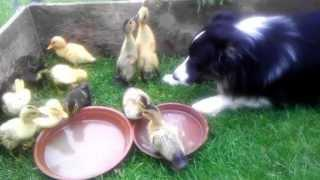 Dog Babysits The Baby Ducks