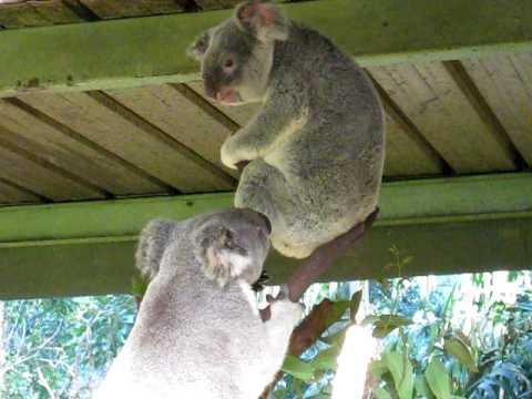 Crazy - Fight Breaks Out Between Koalas
