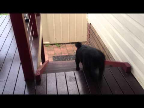 Jokes - Pug's Funny Way Of Climbing Stairs