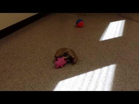Cute Armadillo Plays With His Toy